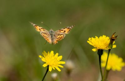 Hundreds of millions of Vanessa cardui pass through Cyprus on their way to cooler parts of the globe