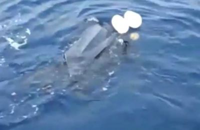 Video of turtle caught accidently steals show in the north as authorities in the south scoop up jellyfish