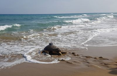 A romance-seeking male turtle called Pambos helps experts in Cyprus understand migration and mating patterns