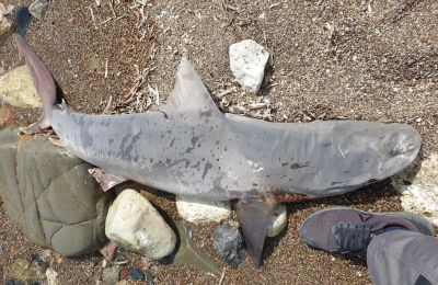 Sandbar shark threatened with extinction found dead on a beach on Cyprus' western coast