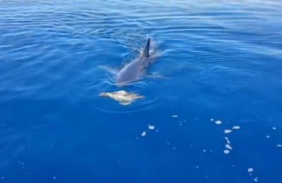 Video shows shortfin mako shark attempting to grab sea turtle during rare encounter on video