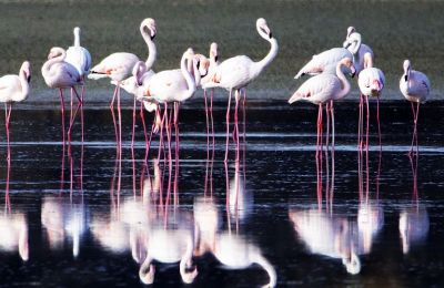 Cyprus hosts the Greater Flamingo (Phoenicopterus roseus) species of the bird, the largest species of flamingo in the world (Photos by Philipos Christou)